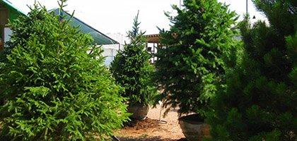 Evergreen Tress by Caledon Treeland