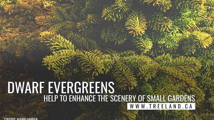 Best Evergreen Trees For Small Gardens Caledon Treeland